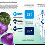 Understanding CB1 and CB2